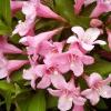 Растение Вейгела