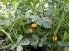 Выращивание рассады арахиса в домашних условиях