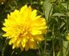 Цветок Рудбекия рассеченная (Золотые шары)