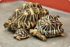 Звездчатая индийская черепаха