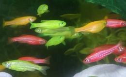 """Аквариумная рыбка """"Данио флуоресцентный"""""""