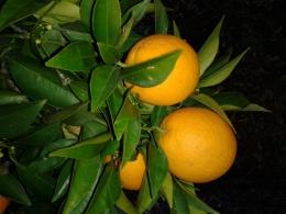Апельсины Анталийские