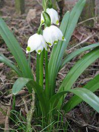 Цветок Белоцветник
