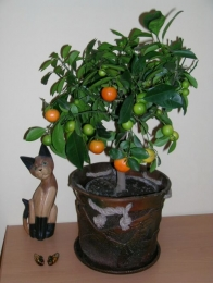 Декоративное мандариновое дерево