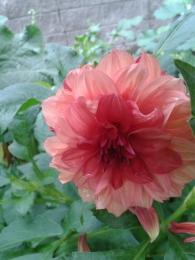Цветок Георгин
