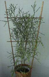 Домашнее растение Хатиора