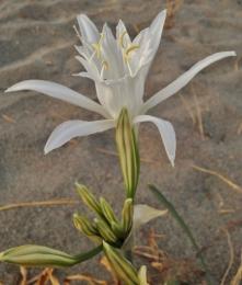 Растение Исмене (Перуанский нарцисс)