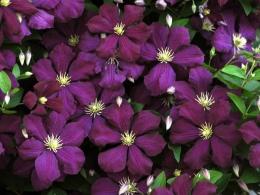 Цветок Клематис