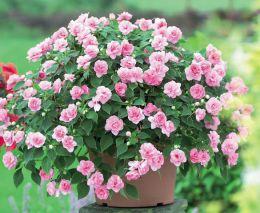 Комнатное растение Бальзамин  Уоллера (Мокрый Ванька)