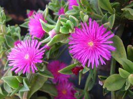 Комнатный цветок Аптения
