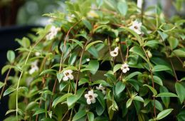 Комнатный цветок Кодонанта