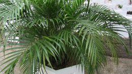 Растение Пальма Арека Хризалидокарпус