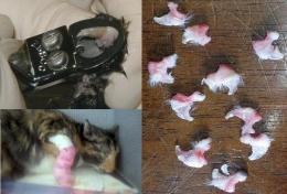Процедура удаления когтей у кошки