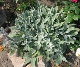 Растение Чистец византийский