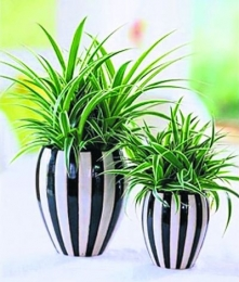 Растение Хлорофитрум