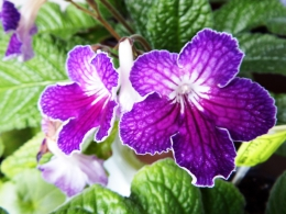 Комнатное растение Стрептокарпус