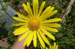Цветок Дороникум