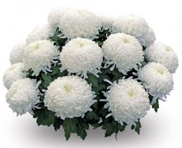 Цветок Хризантема белая