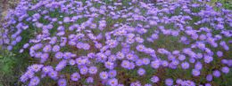 Цветок Мелколепестник