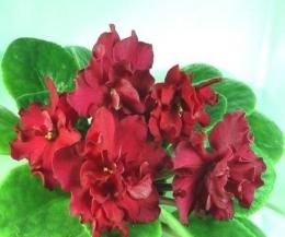 Цветок Узамбарская фиалка «Бой быков»