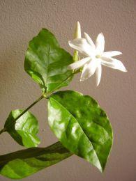 Цветок Жасмин самбак