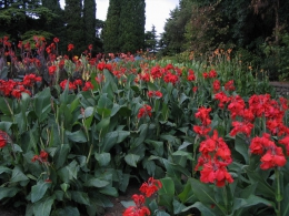 Цветы Канны