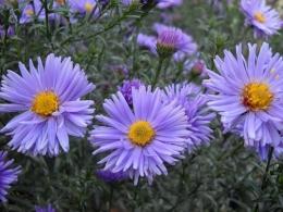 """Цветы садовые """"Сентябрики"""""""