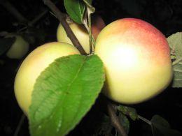 Яблоки Снежный Кальвиль