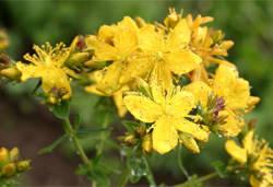 Растение Зверобой