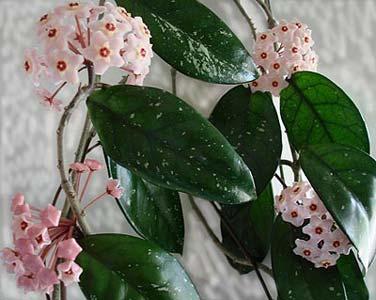 Плющ фото цветок