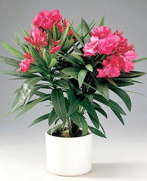 олеандр цветок фото комнатный