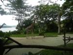 Зоопарк Singapore Zoo в Сингапуре - жирафы