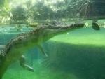 Зоопарк Singapore Zoo в Сингапуре - крокодил