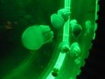 Медузы с зеленой подсветкой