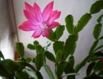 декабрист розовый