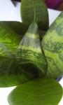 полоски на листьях
