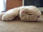 """Порода """"Британская короткошёрстная кошка"""""""