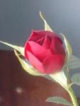 Роза Кордана Микс.