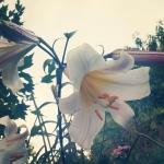 лилии грамофоны, с ярким ароматом