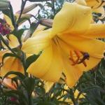 лилии, тоже очень ароматные
