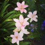 нежные лилии