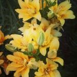 кучерявые желтые лилии