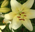 раскрывшийся цветок