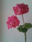 очень красиво цветет