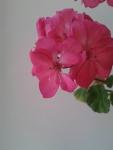 красивые цветочки, но запах не очень
