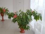 листья гибискуса при ярком освещении