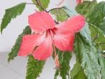 цветок гибискуса очень красив
