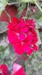 Красная герань