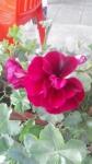 Один цветок герани