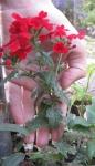 цветы не высокие - фото по сравнению с рукой